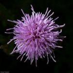 Acker Kratzdistel Cirsium arvense 06