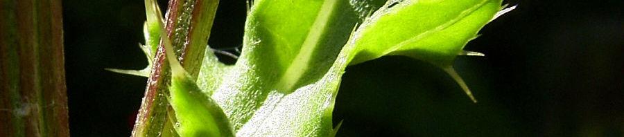 Anklicken um das ganze Bild zu sehen Acker-Kratzdistel Blüte lila Cirsium arvense