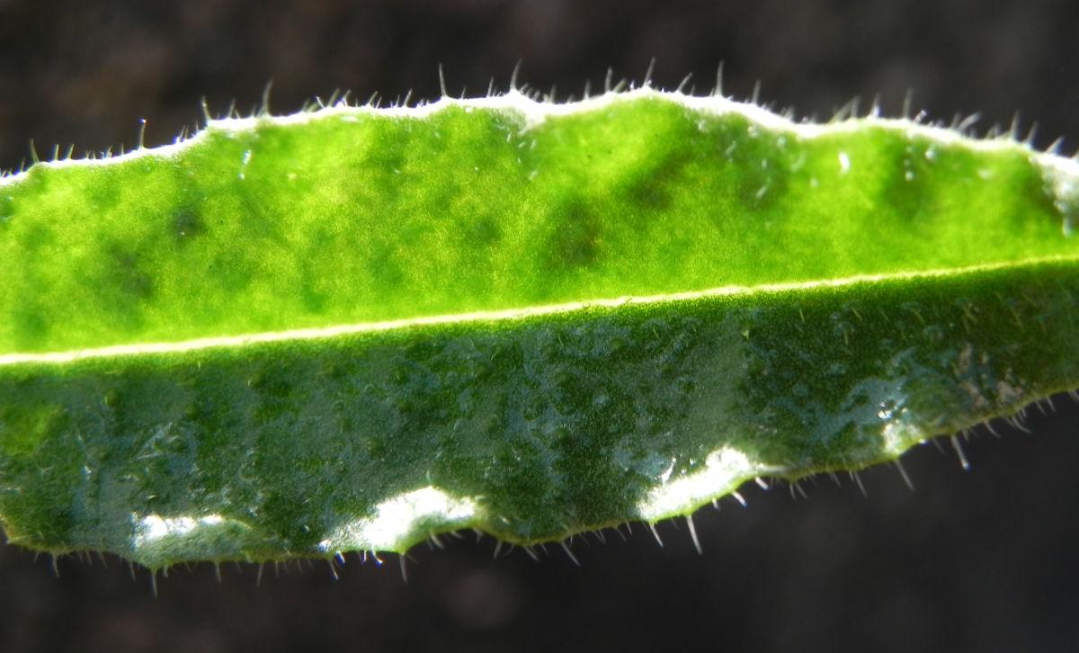 Acker Krummhals Blatt gruen Anchusa arvensis