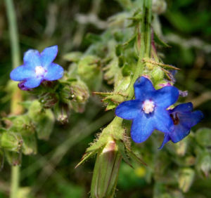 Acker Krummhals Bluete blau Anchusa arvensis 01