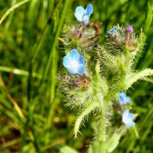 Acker Krummhals Bluete blau Anchusa arvensis 02