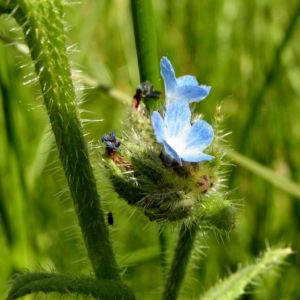 Acker Krummhals Bluete blau Anchusa arvensis 04