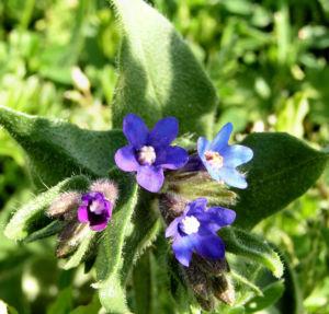Acker Krummhals Bluete blau Anchusa arvensis 06