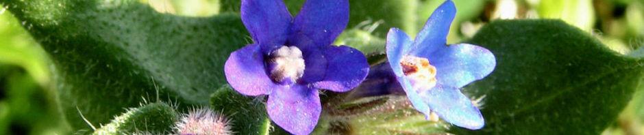 acker-krummhals-bluete-blau-lila-anchusa-arvensis