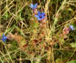 Acker Krummhals Bluete blau Anchusa arvensis 07 2