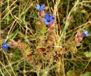 Image: Acker Krummhals Bluete blau Anchusa arvensis