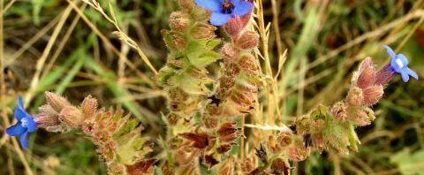 Anklicken um das ganze Bild zu sehen  Acker Krummhals Blüte blau Anchusa arvensis