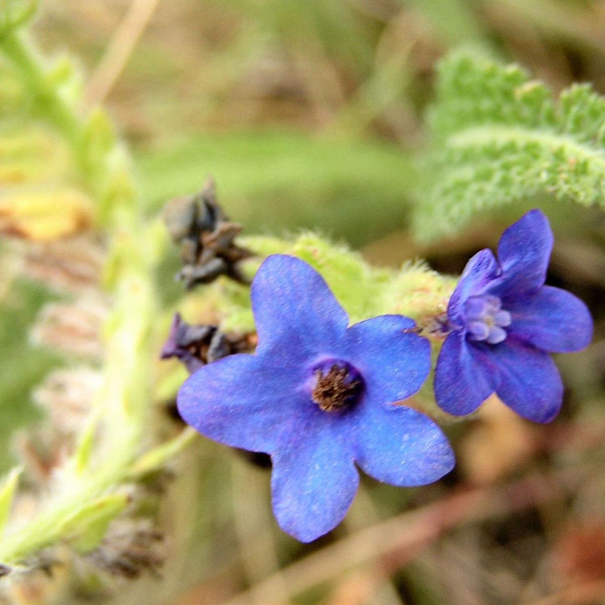 Acker Krummhals Bluete blau Anchusa arvensis