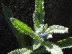 Bild: Acker-Krummhals Blüte blau Blatt grün Anchusa arvensis