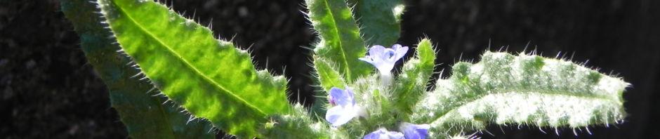 acker-krummhals-bluete-blau-blatt-gruen-anchusa-arvensis