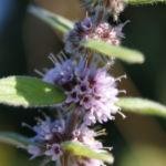 Acker Minze Bluete hellrosa Mentha arvensis 06