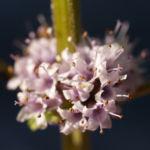 Acker Minze Bluete hellrosa Mentha arvensis 08