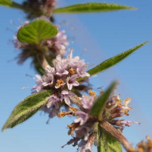 Acker Minze Bluete hellrosa Mentha arvensis 11