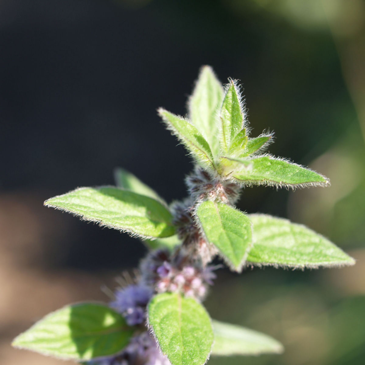 Acker Minze Bluete hellrosa Mentha arvensis