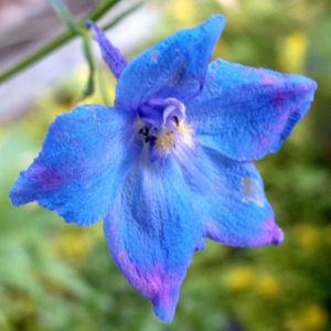 Acker Rittersporn Bluete hellblau Consolida regalis 02
