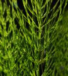 Bild: Acker-Schachtelhalm Stängel grün Equisetum arvense