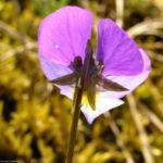 Bild: Wildes Stiefmütterchen Blüte violett Viola tricolor