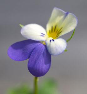 Acker Stiefmuetterchen Bluete violett Viola tricolor 01