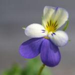Acker Stiefmuetterchen Bluete violett Viola tricolor 02
