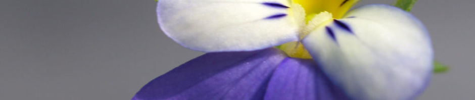 wildes-stiefmuetterchen-bluete-violett-viola-tricolor