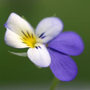 Acker Stiefmuetterchen Bluete violett Viola tricolor 05