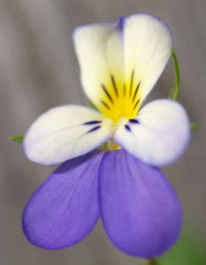 Acker Stiefmuetterchen Bluete violett Viola tricolor 06