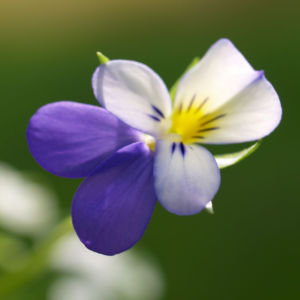 Acker Stiefmuetterchen Bluete violett Viola tricolor 07