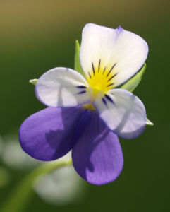 Acker Stiefmuetterchen Bluete violett Viola tricolor 08