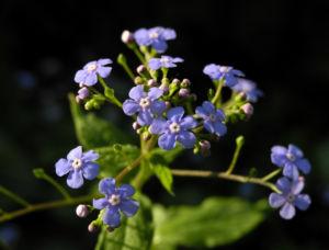 Acker Vergissmeinnicht Bluete hellblau Myosotis arvensis 01