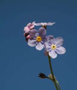 Acker Vergissmeinnicht Bluete hellblau Myosotis arvensis 06