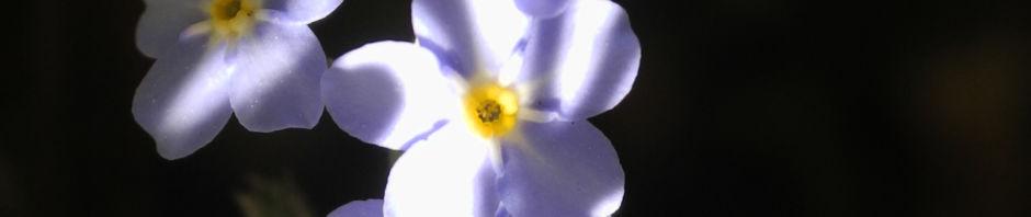 acker-vergissmeinnicht-bluete-hellblau-myosotis-arvensis