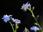 Bild: Acker-Vergissmeinnicht Blüte hellblau Myosotis arvensis