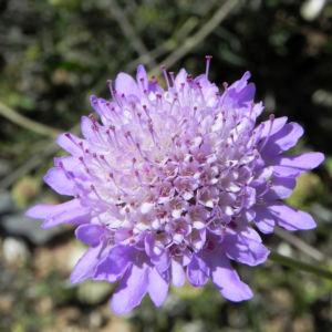 Acker Witwenblume Bluete lila Knautia arvensis 01