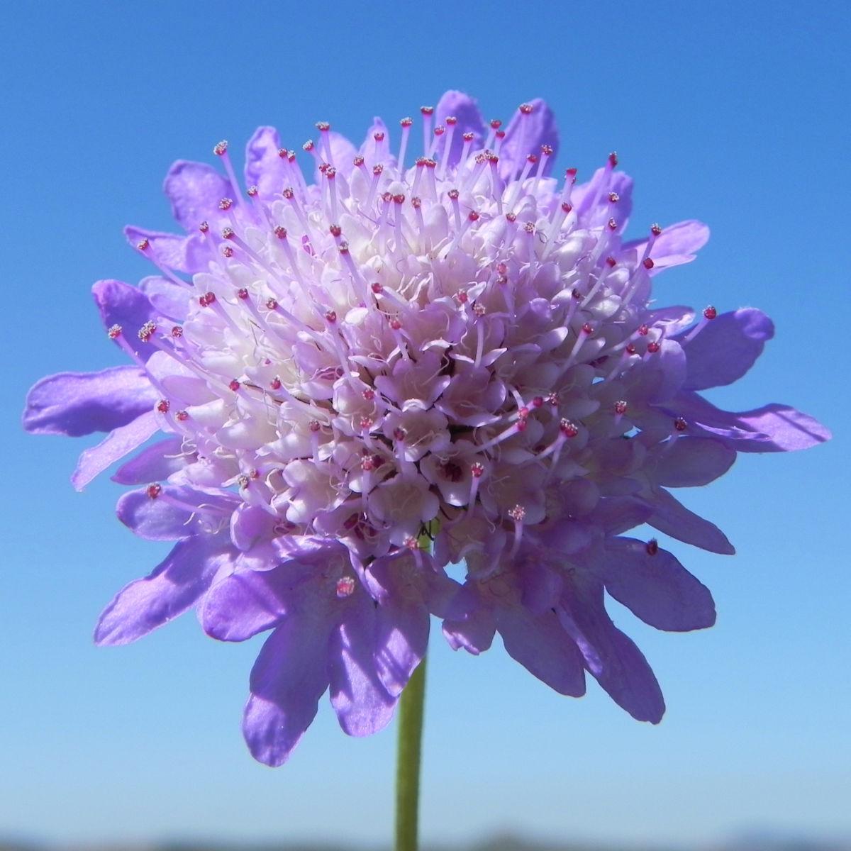 Acker Witwenblume Bluete lila Knautia arvensis
