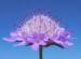 Zurück zum kompletten Bilderset Acker-Witwenblume Blüte lila Knautia arvensis
