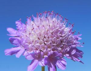 Acker Witwenblume Bluete lila Knautia arvensis 08