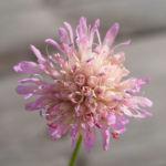 Acker Witwenblume Kraut Bluete rose Knautia arvensis 03