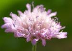 Acker Witwenblume Kraut Bluete rose Knautia arvensis 06