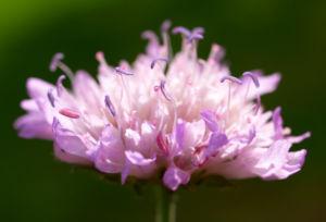 Acker Witwenblume Kraut Bluete rose Knautia arvensis 08