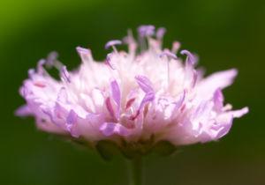Acker Witwenblume Kraut Bluete rose Knautia arvensis 10