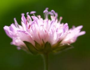 Acker Witwenblume Kraut Bluete rose Knautia arvensis 12