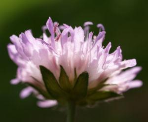 Acker Witwenblume Kraut Bluete rose Knautia arvensis 13