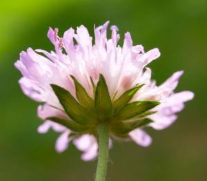 Acker Witwenblume Kraut Bluete rose Knautia arvensis 15