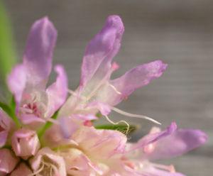 Acker Witwenblume Kraut Bluete rose Knautia arvensis 16