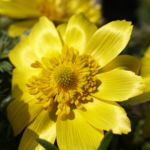 Adonisroeschen Ranunkel Bluete gelb Adonis vernalis 01