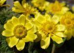 Adonisroeschen Ranunkel Bluete gelb Adonis vernalis 02 3