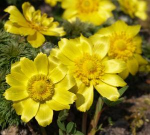 Adonisroeschen Ranunkel Bluete gelb Adonis vernalis 04
