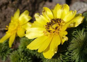 Adonisroeschen Ranunkel Bluete gelb Adonis vernalis 05