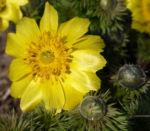 Adonisroeschen Ranunkel Bluete gelb Adonis vernalis 06