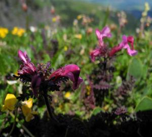 Aehren Laeusekraut Bluete pink Pedicularis rostratospicata 03